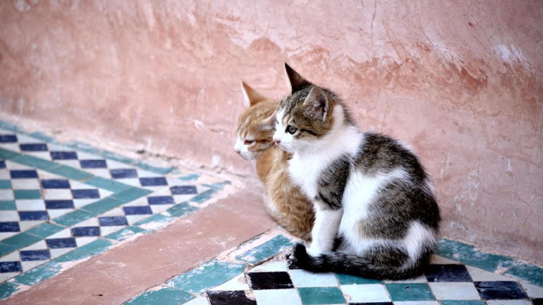 Un espagnol, atteint de symptômes de la rage, blâme une morsure d'un chat marocain