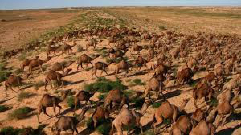 L'Australie prévoit de tuer 10 000 chameaux en raison de la sécheresse